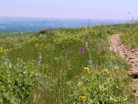 Wildflowers on Green Mountain with Denver, Colorado in the background.