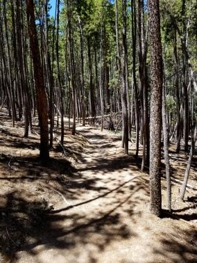 Pine forestt