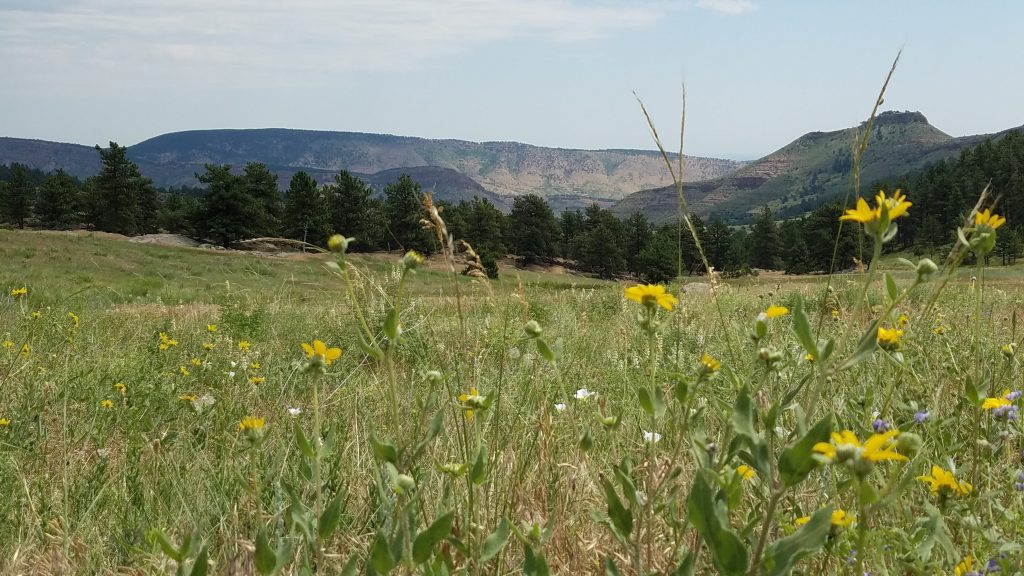Wildflowers in bloom in Hall Ranch near Boulder Colorado