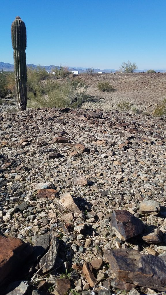 saguaro cactus growing from hard packed dirt and rocks Near Quartzsite Arizona
